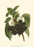 Black Cherries Prints by John Wright