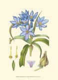 Periwinkle Blooms III Poster von Samuel Curtis