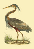 Purple Heron Poster by Prideaux John Selby