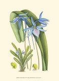 Periwinkle Blooms IV Kunstdrucke von Samuel Curtis