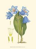 Periwinkle Blooms II Kunstdrucke von Samuel Curtis