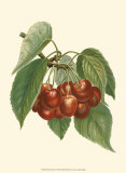 Red Cherries Poster von John Wright