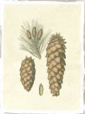 Crackled Woodland Pinecones II Giclee Print by Silva
