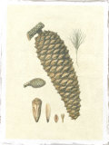 Crackled Woodland Pinecones IV Giclee Print by  Silva