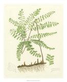 Eaton Ferns II Giclee Print by Daniel C. Eaton