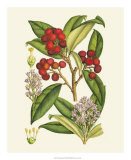 Crimson Berries I Giclee Print by Samuel Curtis