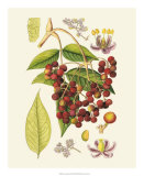 Crimson Berries IV Giclee Print by Samuel Curtis
