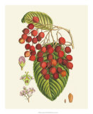 Crimson Berries II Giclee Print by Samuel Curtis