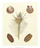 Knorr Shells I Giclee Print by George Wolfgang Knorr