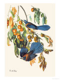 Scrub Jay Prints by John James Audubon