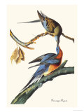 Passenger Pigeon Prints by John James Audubon