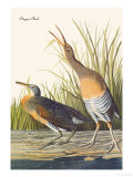 Clapper Rail Prints by John James Audubon
