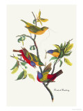 Painted Bunting Premium Giclee Print by John James Audubon