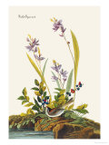 Field Sparrow Posters by John James Audubon