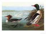 Common Merganser Print by John James Audubon