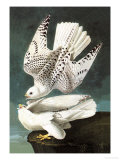 White Gyrfalcon Posters by John James Audubon