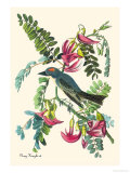 Gray Kingbird Premium Giclee Print by John James Audubon