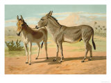Abyssinian Male and Indian Onager Female Poster by Samuel Sidney