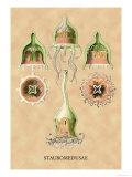 Jellyfish: Stauromedusae Poster by Ernst Haeckel
