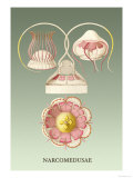 Jellyfish: Narcomedusae Prints by Ernst Haeckel