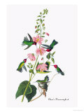 Anna's Hummingbird Print by John James Audubon