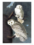 Snowy Owl Psters por John James Audubon