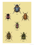 Beetles of Cape, America, Manilla, N. Holland and Brazil Poster by Sir William Jardine
