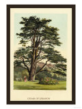 Cedar of Lebanon Print by W.h.j. Boot