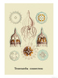 Jellyfish: Tesserantha Connectens Prints by Ernst Haeckel