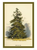 Spruce Fir Tree Prints by W.h.j. Boot