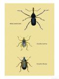Beetles: Rhina Barbirostris, Curculio Cuvieru and C. Vittatus Prints by Sir William Jardine