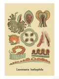 Jellyfish: Lucernaria Bathyphila Prints by Ernst Haeckel