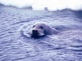 Bearded Seal Prints by Captain Budd Christman