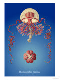 Jellyfish: Thamnostylus Dinema Prints by Ernst Haeckel