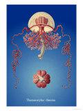 Jellyfish: Thamnostylus Dinema Poster by Ernst Haeckel
