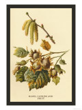 Hazel, Catkins and Fruit Prints by W.h.j. Boot