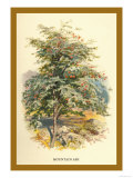 Mountain Ash Print by W.h.j. Boot