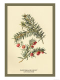 Flowers and Fruit of the Yew Art by W.h.j. Boot