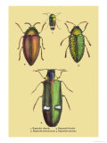 Beetles: Buprestis Chrysis B. Sternicornis Posters by Sir William Jardine