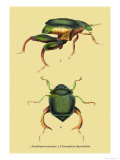 Beetles: Scarabaeus Macropus and Chrysophora Chrysochlora Poster by Sir William Jardine