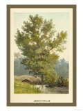 Aspen Poplar Prints by W.h.j. Boot