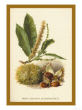 Sweet Chestnut, Blossom and Fruit Prints by W.h.j. Boot