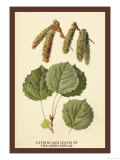 Catkins and Leaves of the Aspen Poplar Print by W.h.j. Boot