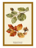 The Beech Leaves and Nut Posters by W.h.j. Boot