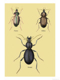 Beetles of Senegal, Britain and France Prints by Sir William Jardine
