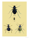 Beetles of Java, France, Cape and Europe Posters by Sir William Jardine