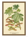 Field Maple, Foliage, and Fruit Prints by W.h.j. Boot