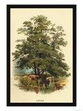 Alder Tree Poster by W.h.j. Boot