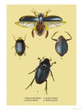 Beetles: Dytiscus Dimidiatus, Gyrinus Nalator Prints by Sir William Jardine