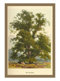 Wych Elm Prints by W.h.j. Boot